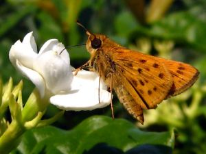 c32-Arabian Jasmine &amp; Fiery Skipper Butterfly_4030634169_o.jpg